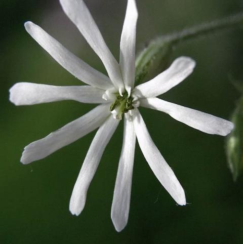 Catchfly, Nottingham (Silene nutans) Plant