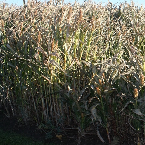 Over 'n' Under Sorghum Mix