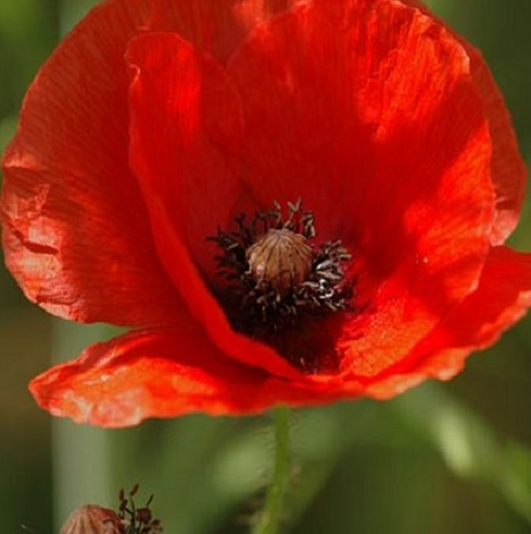 Poppy, Common (Papaver rhoeas) Plants