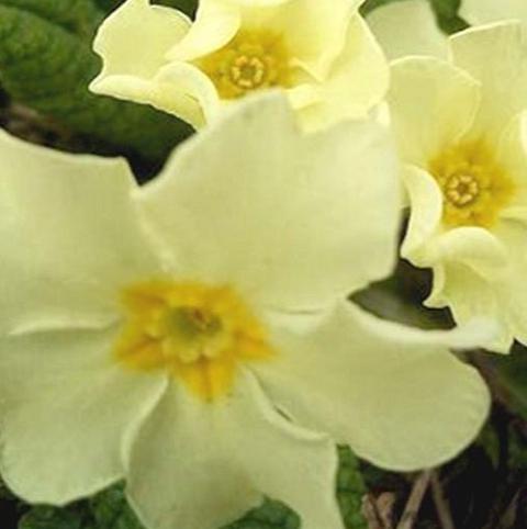 Primrose, Wild (Primula vulgaris) Plant