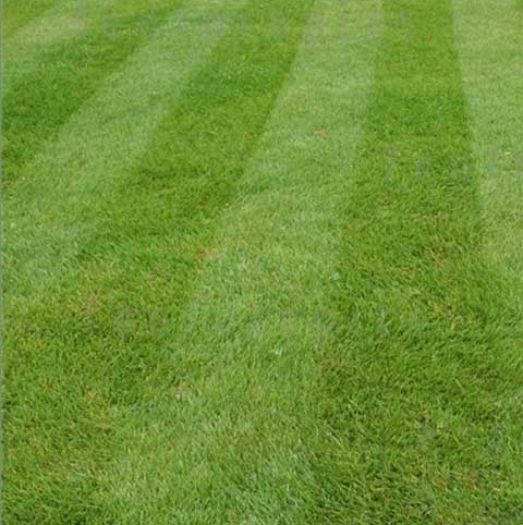 BS Quality Fine Lawn Seed