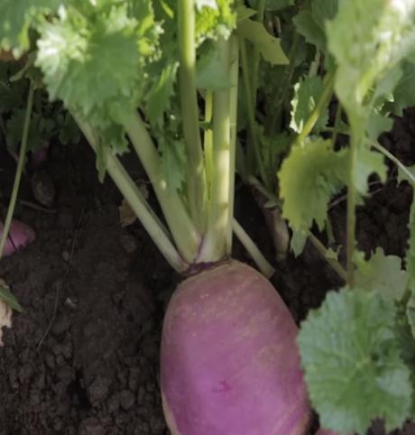 Samson, Stubble Turnip