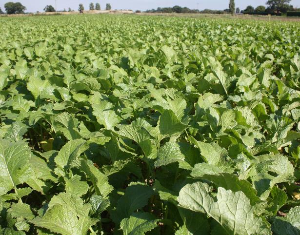 SCALA Brown Mustard Seeds (Brassica juncea)