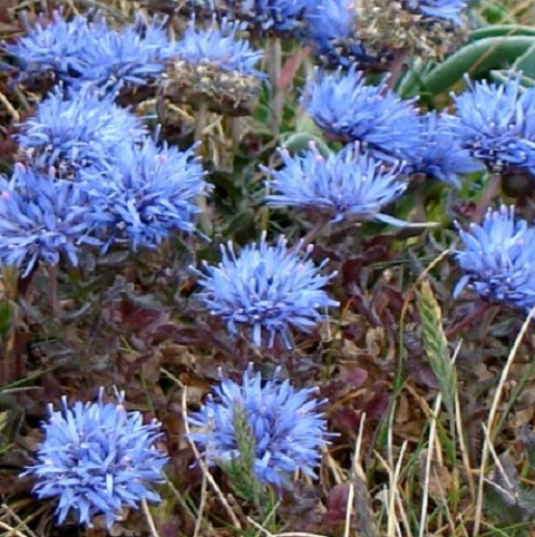 Sheepsbit (Jasione montana) Plant