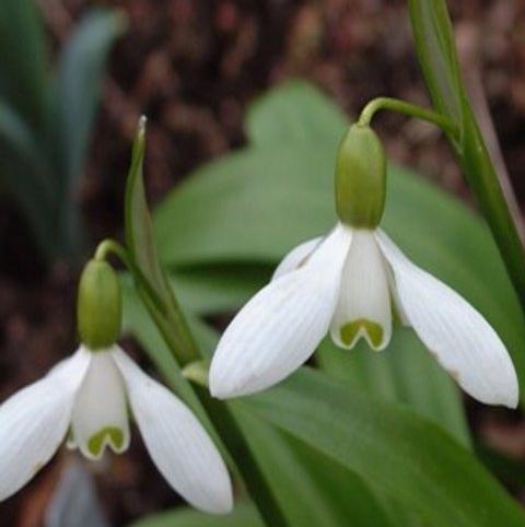 BS Snowdrop (Woronow, Green) Bulbs (Galanthus woronowii)