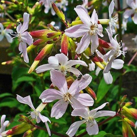 Soapwort (Saponaria officinalis) Plant
