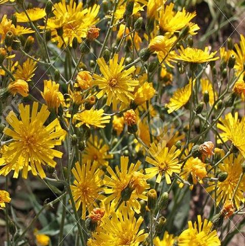 Hawkweed, Spotted (Hieracium maculatum) Plant