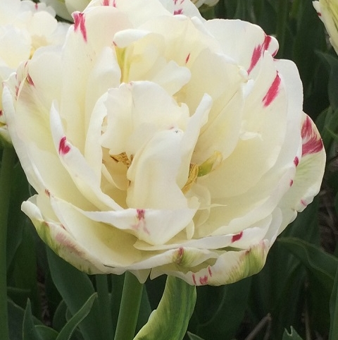 Danceline Tulip