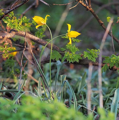 BS Wild Tulip Bulbs 'In The Green' (Tulipa sylvestris)