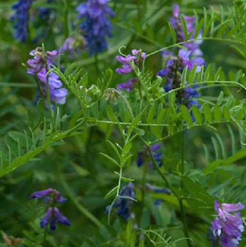 Vetch Seed (Vicia sativa) - (Organic)