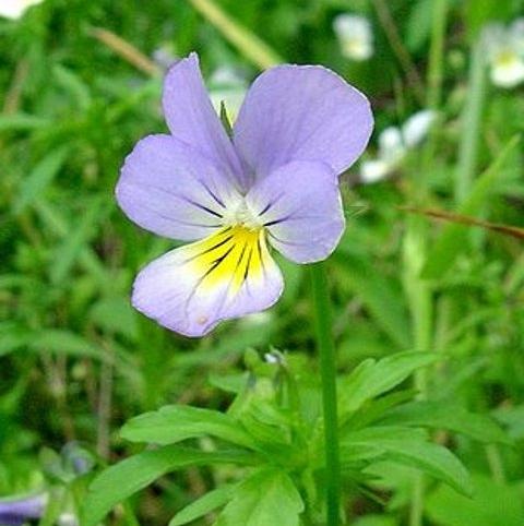 Pansy, Wild (Viola tricolor)