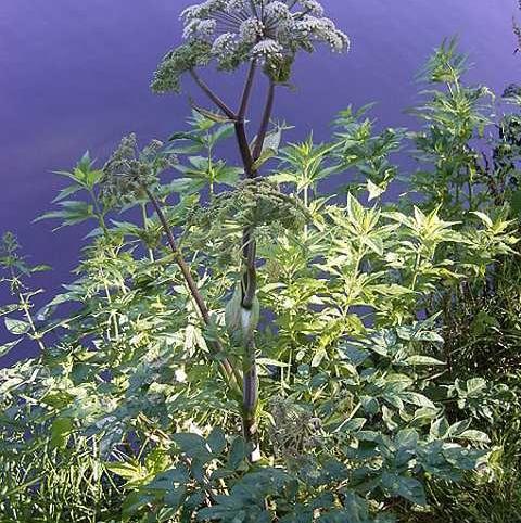 Angelica, Wild (Angelica sylvestris) Plant
