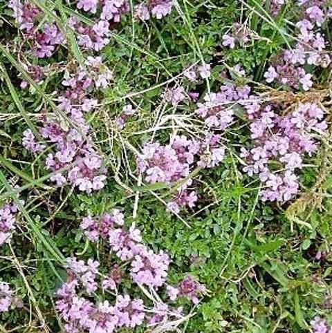 Thyme, Wild (Thymus polytrichus) Plant