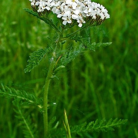 Yarrow (Agricultural)
