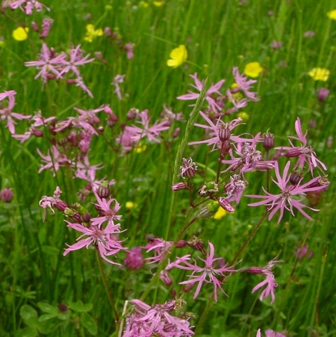 BS11P 100%: Acidic Soils Wildflower Seeds