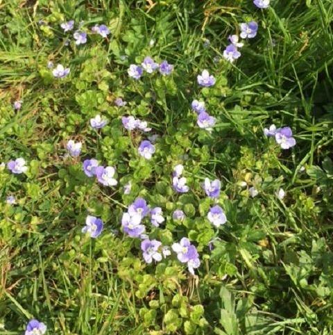 Speedwell, Birdseye (Veronica chamaedrys) Plant - Boston Seeds