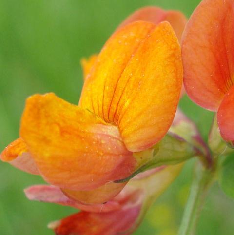 Trefoil, Bird's-foot (Lotus corniculatus) Plant