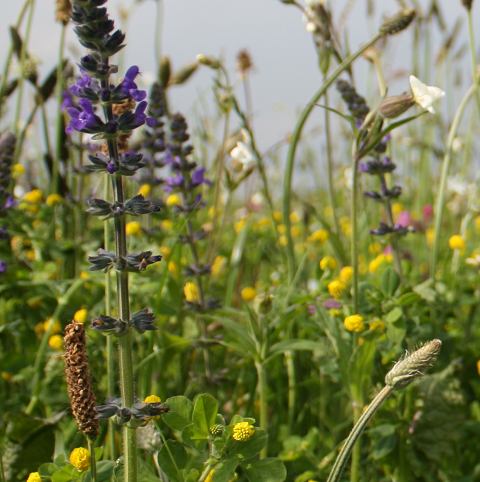 BS1M: Traditional Wildflower Meadow Seeds
