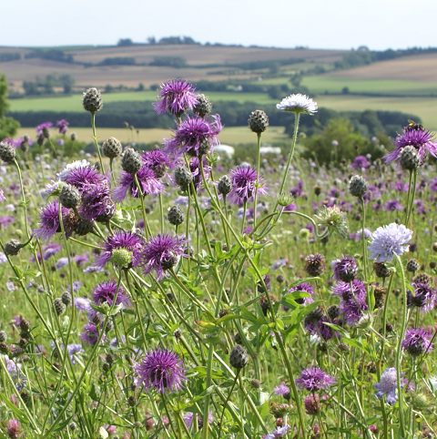 BS5P 100%: Heavy Clay Soils Wildflower Seeds