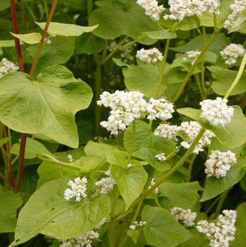 Buckwheat Seed (Fagopyrum esculentum) - (Organic)