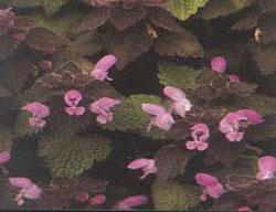 Deadnettle, Red (Lamium purpureum) Seeds