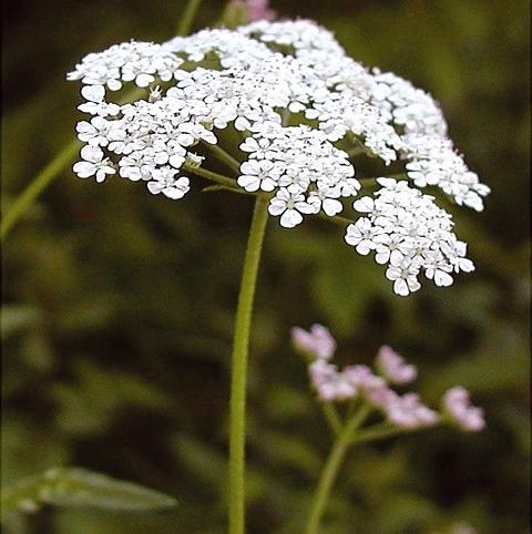 Upright Hedge Parsley (Torilis japonica) Plant