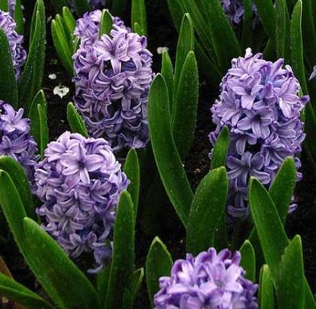 Delft Blue Hyacinth Bulbs