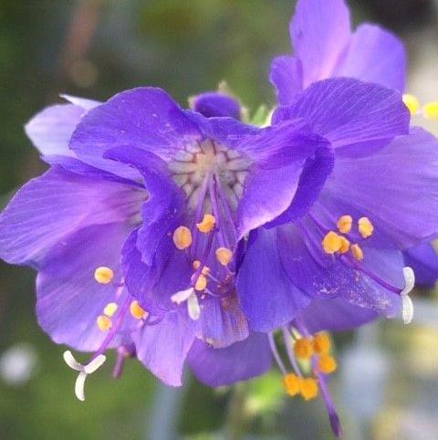 Jacob's Ladder (Polemonium caeruleum) Plant
