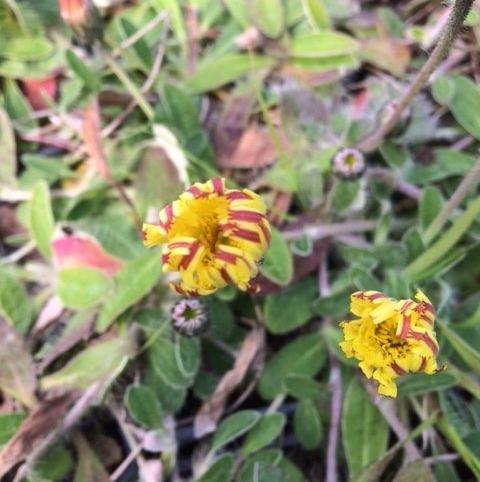 Mouse-Ear Hawkweed (Hieracium Pilosella) Plant