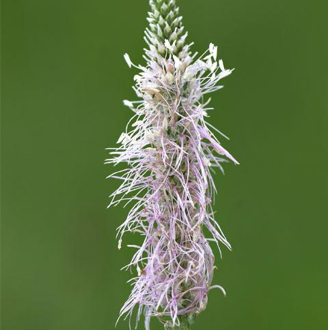 Plantain, Hoary (Plantago media) Plant