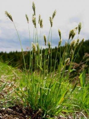 Sweet Vernal-Grass (Anthoxanthum odoratum) Plant