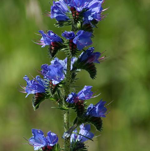Viper's Bugloss (Echium vulgare) Plant