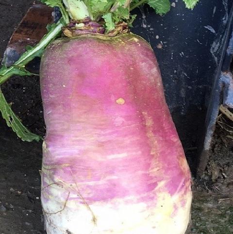 Vollenda, Stubble Turnip